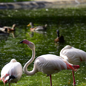 Flamingos by Nur Ismail Mohammed - Animals Birds ( aviary, drinking, flamingo, pond, bird park )