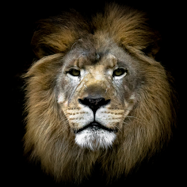 King of the darkness by Gregg Pratt - Animals Lions, Tigers & Big Cats ( lion )