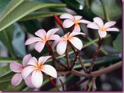 Nærbilde av frangipani-blomster.