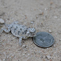 Texas Horned Lizard (Baby)