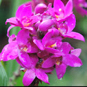 Purple Ground Orchid