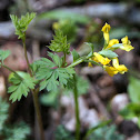 Yellow Fumewort or Yellow Harlequin