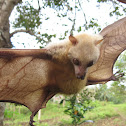 Little Golden-mantled Flying-fox