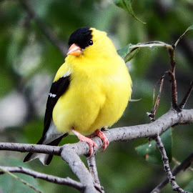 Finch by Lisa Hughart - Animals Birds ( bird, perched, finch, backyard, yellow )
