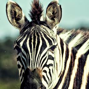 Zebra by Cristobal Garciaferro Rubio - Animals Other Mammals ( b/w, mexico, zebra )