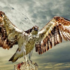 Osprey at sunset by Sandy Scott - Digital Art Animals ( birds of prey, fishing birds, osprey wing spread, florida birds, raptors, osprey,  )