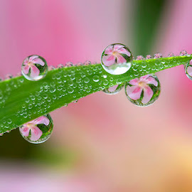 Lovely pink by Citra Hernadi - Nature Up Close Natural Waterdrops