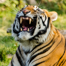 Bengal Tiger by Zagham  Ul islam - Animals Lions, Tigers & Big Cats ( big cat, lion, tiger, bengal tiger )