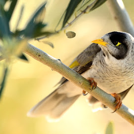 AUSTRALIAN MYNA by RJ Photographics - Novices Only Wildlife (  )