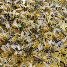 Queen Bee by Marney Dainty - Nature Up Close Hives & Nests ( hive, bees, queen, bee, apiary, honeycomb )