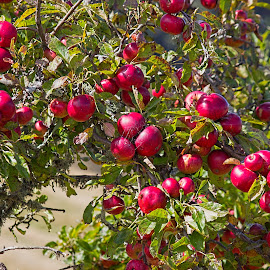 ready to eat by Vibeke Friis - Nature Up Close Gardens & Produce ( apple trees, red apples,  )