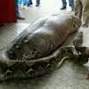 Gambar preview Ular Python Habis makan Manusia Korban Banjir