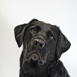 Talulah at the Shelter by Martha Pope - Animals - Dogs Portraits ( shelter, adopt, foster, rescue, black lab, dog, black, black labrador )