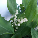 Lily of the Valley (μιγκές)