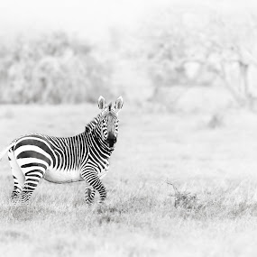 'Misty Morning. Mountain Zebra' by Michael Price - Black & White Animals ( black&white in black and white, mountain zebra, zebra in mist, zebra )