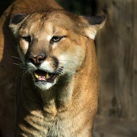 Mountain lio by Praveen Mathew - Animals Lions, Tigers & Big Cats ( wild cat, big cat, cougar, puma, mountain lion )