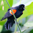red-winged blackbird (display)