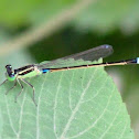 Eastern Forktail Damselfly (Male)