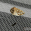 Gray Spruce Looper Moth