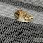Gray Spruce Looper Moth