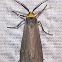 Yellow-collared Scape Moth