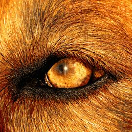 Golden Eye by Holly Dolezalik - Animals - Dogs Portraits ( up close, gold, dog, light, golden retriever, eye,  )