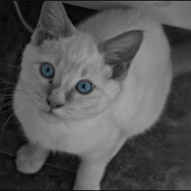Blue Eyed Baby by Amber Jack - Animals - Cats Kittens ( kitten, curious, pets, selective coloring, cute )