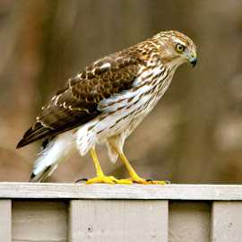 Cooper Hawk by Brian Shoemaker - Novices Only Wildlife ( wildlife, backyard, visitor, hawk, cooper )