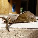 Mariposa fantasma (Ghost moth)