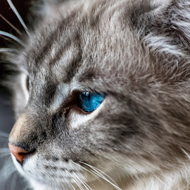 Pangur  by Joseph Martinez - Animals - Cats Portraits ( cat face, animals, cat, close up, portrait, close ups, eyes, cat eyes, blue, d750, cat portrait, nikon, closeup,  )