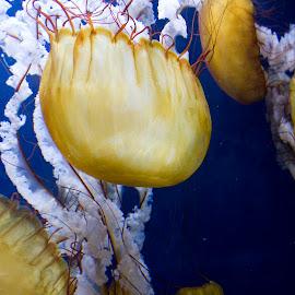 Jellyfish by Lori White - Animals Sea Creatures ( aquarium, sea, ocean, san francisco, jellyfish )