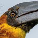 Rufous Hornbill ♂