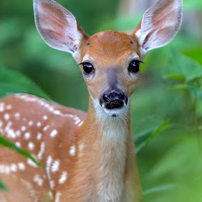 Bambi by Jack Nevitt - Animals Other Mammals ( face, park, national, wildlife, forest, woods, mammal, shenandoah, mountains, bambi, fawn, closeup, animal )