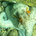 Octopus. Pulpo