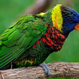 Lorikeet by Dan Ferrin - Animals Birds ( bird, nature, wildlife, birds, lorikeet )
