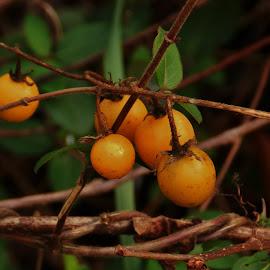 Nightshade Berries by Matthew Beziat - Nature Up Close Other plants ( kinder farm, kinder farm park, solanum, nightshade, anne arundel county, carolina horsenettle, nightshade berries, solanum carolinense )