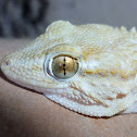 European common gecko