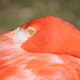 Bahamas flamingo by Lauri Crowell - Novices Only Wildlife