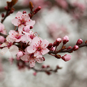 Blossoms by Chris Taylor - Flowers Tree Blossoms ( tree, nature, blooming, branch, pink, flowers, close up, bokeh, spring, blossoms )