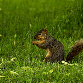 Squirrel by Anthony Stark - Novices Only Wildlife ( anthony stark, novice, nature, wildlife, digital, squirrel, photography )