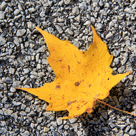 Yellow Leaf by Marsha Biller - Nature Up Close Leaves & Grasses ( grey pavement, one, yellow, leaf, maple leaf )