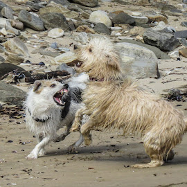 On the beach  by Sean Snyman - Animals - Dogs Playing