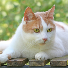 Summer day by Mia Ikonen - Animals - Cats Portraits ( warm, green, finland, summer, shade )