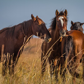 Wild Horses - Osage County Oklahoma by Ron Meyers - Animals Horses
