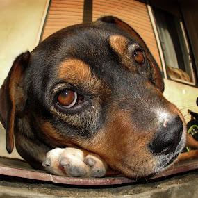 Suncanje by Zeljko Secujski - Animals - Dogs Portraits ( doggy style, stip, lezanje, pas, chilling, sunjcanje, sleeping, fish eye, dog, sun )