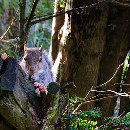 Munching on a raisin by Jaqueline Nicholsn - Animals Other ( bushy, eating, nuts, climber, tree tops, squirrel )