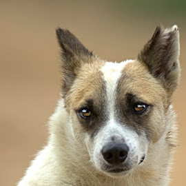 Look in the eye by Prasanna Bhat - Animals - Dogs Portraits