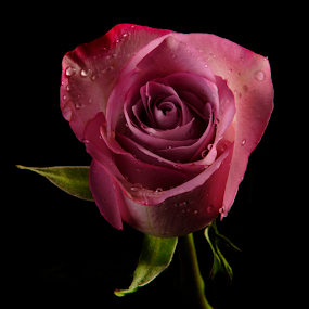 Rose  by Cristobal Garciaferro Rubio - Flowers Single Flower ( petals, drop, drops, flowers, flower, petal )