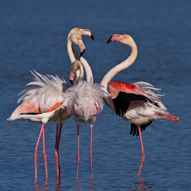 Conversation by Adéle van Schalkwyk - Animals Birds ( wild, free, nature, flamingo, birds, river )