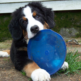 Frisbee Time by Kristen Barth - Animals - Dogs Puppies ( bernese mountain dog, dog expressions, dogs playing, frisbee dog, puppy playing )